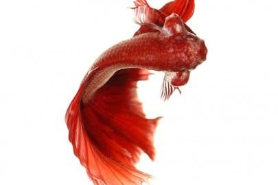 Red Betta Fish or Siamese Fighting Fish in tank