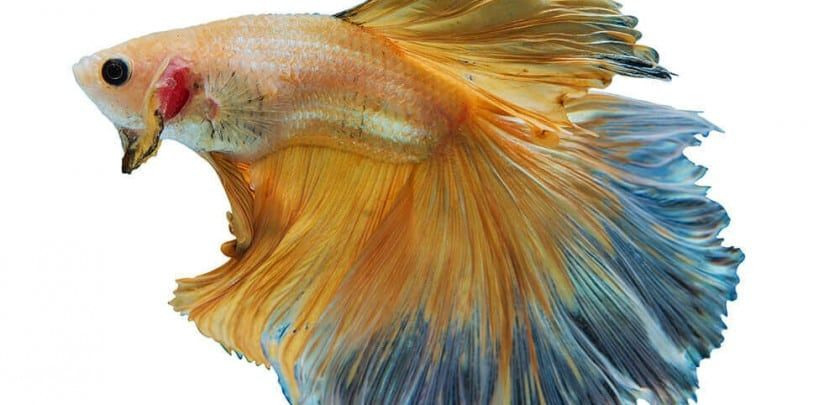 yellow and blue Betta Fish or Siamese Fighting Fish in tank