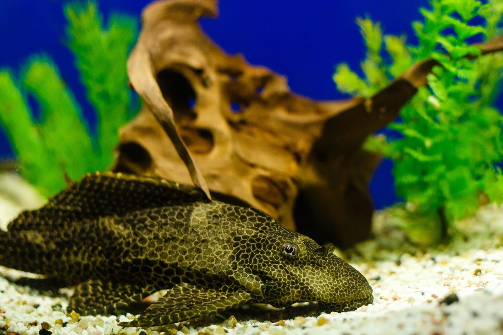 Common Pleco close up in small aquarium