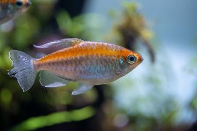 Congo Tetra Close up look