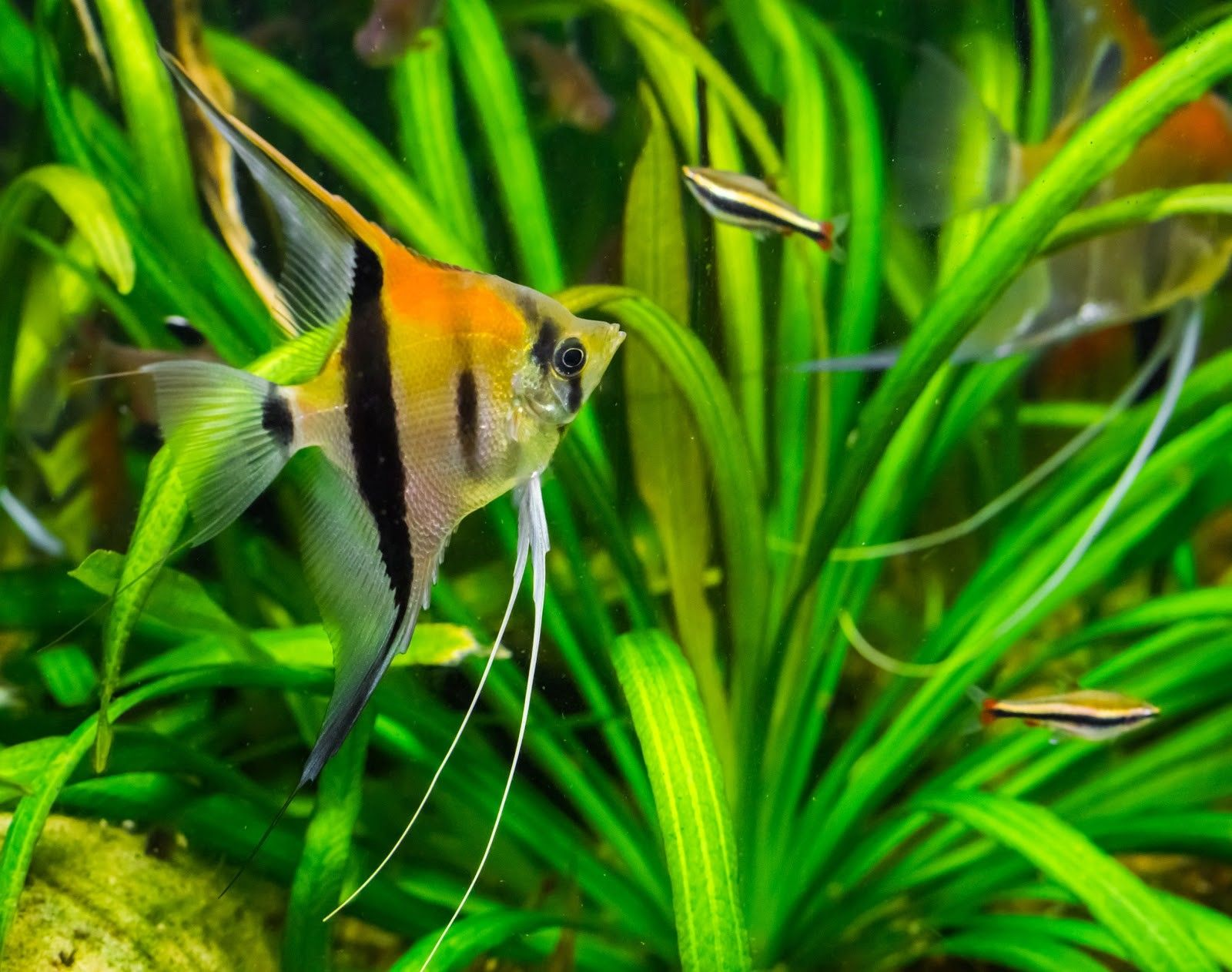 Close up of Angel fish