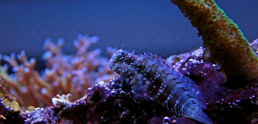 Lawnmower blenny care and info