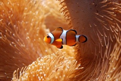 Ocellaris Clown fish sitting in anemone close up
