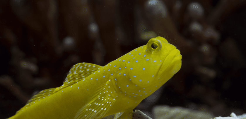 Yellow watchman goby sitting at the bottom of a fish tank