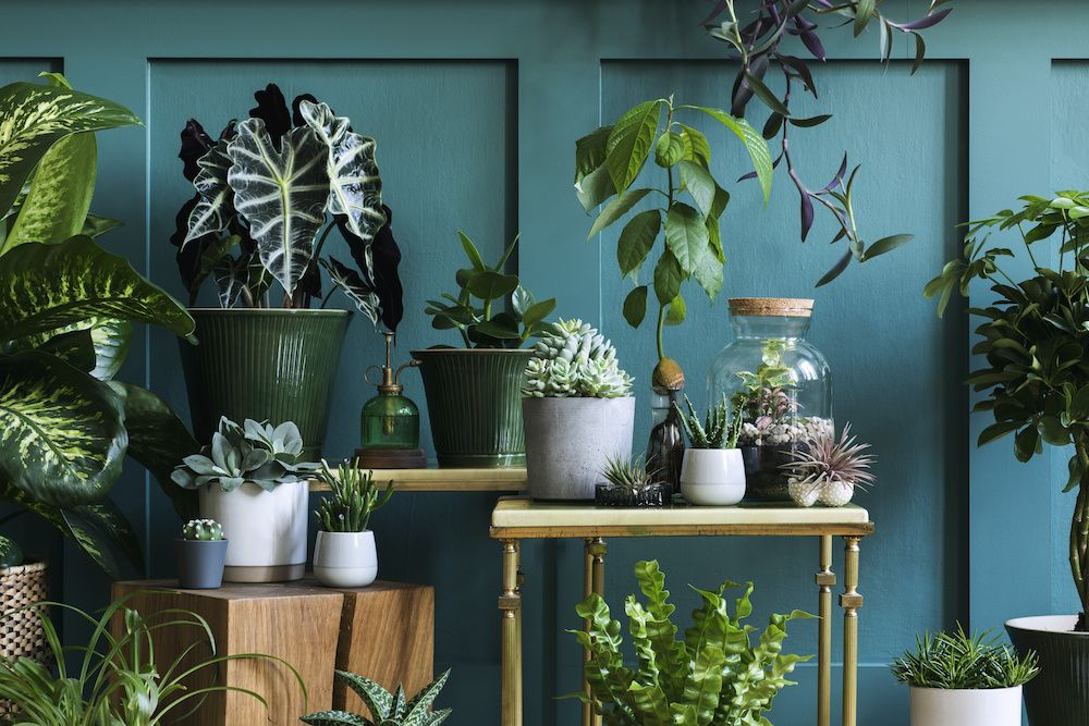Plants intended to improve indoor air quality sit against a teal wall on various tables.